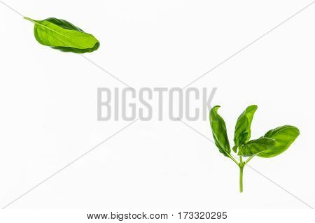 sweet basil leaves on white background with copy space