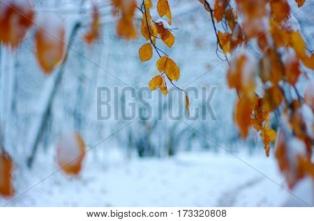 Yellow leaves in snow. Late fall and early winter. Blurred nature background with shallow dof.