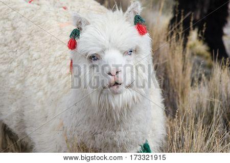 Cute llamas of Altiplano Bolivia South America