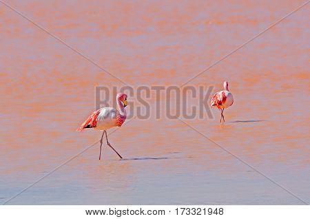 Flamingo wildlife Laguna Colorada (Red Lagoon) Altiplano Bolivia South America
