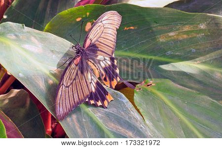 Butterfly with wings spread out resting on a dark green leaf