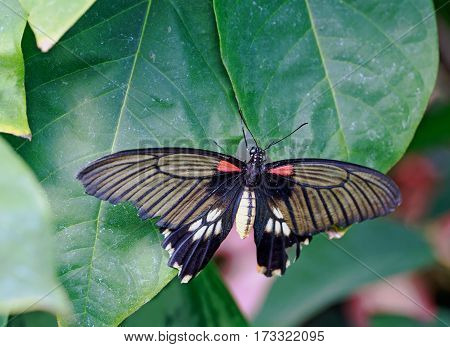 Swallow Tailed Butterfly with wings extended on a green leaf