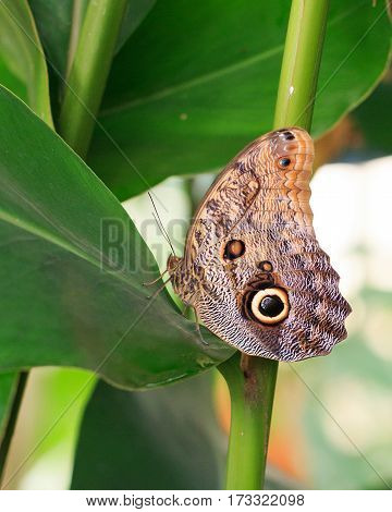 Large Owl Butterfly resting on a vibrant green leaf
