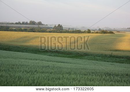 Green field with oats, a yellow field with a rye and bushes with strips of a fog in the morning.