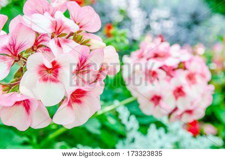 Beautiful pink geraniums in the natural garden
