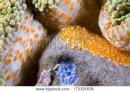 Fish eggs of skunk anemonefish, Amphiprion akallopisos, Komodo Island, Indonesia, Indo-Pacific.