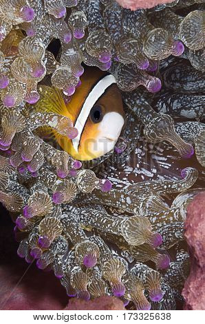 Clark's Anemonefish, Amphiprion clarkii, hiding in host sea anemone, Entacmaea quadricolor, Komodo Island, Indonesia, Indo-Pacific.