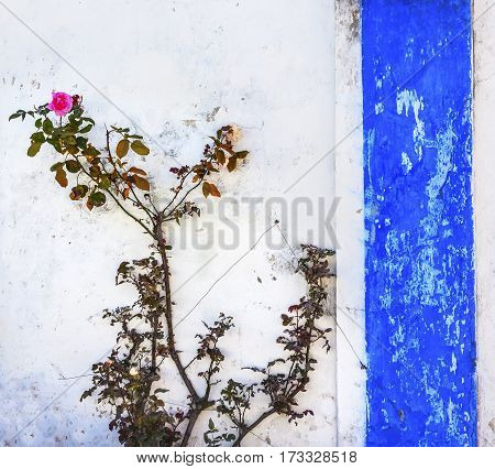 Blue White Wall Pink Rose Street Medieval Town Obidos Portugal.