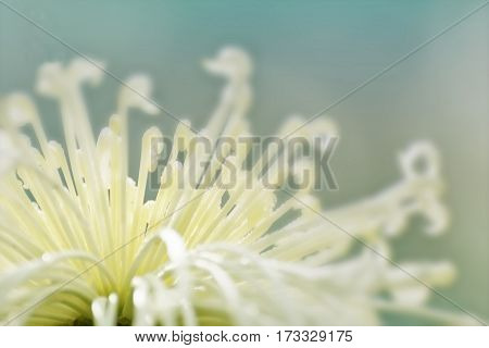 Artistic flower image off white flower petals with light bluish background nature stock photograph