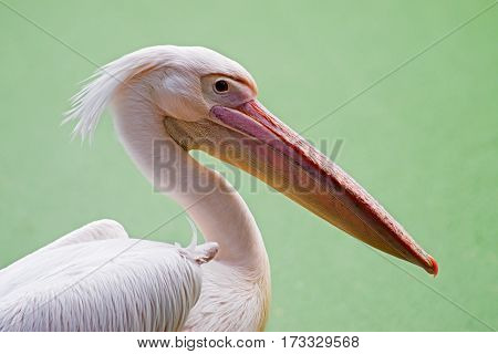 Portratit of a Pelicans Rosy Pelican Pelicanus onocrotalus a genus of large water birds of Pelecanidae family Kolkata West Bengal India