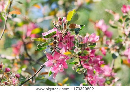 Spring natural background with blooming apple tree pink flowers selective focus horizontal