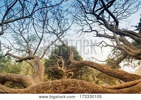 Leafless tree branches of winter season season specific image of nature. Image shot at Kolkata Calcutta West Bengal India