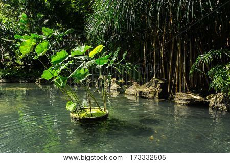 Koi fishes in a pond with water lily and green landscape around the pond photo taken in Jakart Indonesia java