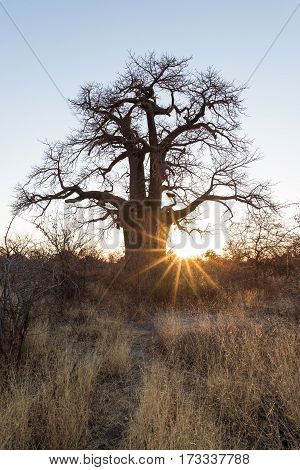 Huge Baobab plant in the african savannah with clear blue sky at sunrise. Botswana one of the most attractive travel destionation in Africa.