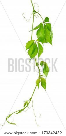 Grape vine leaves isolated on a white background