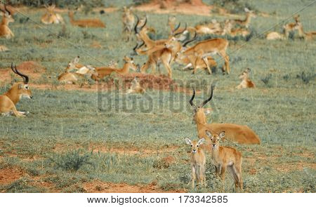Long shot of young impala antelopes in front of large group, shallow depth of field