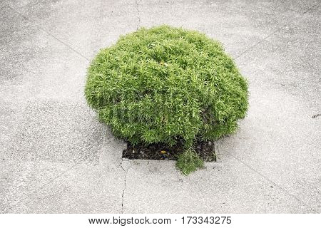 small green bush grows from square hole made in concrete pavement