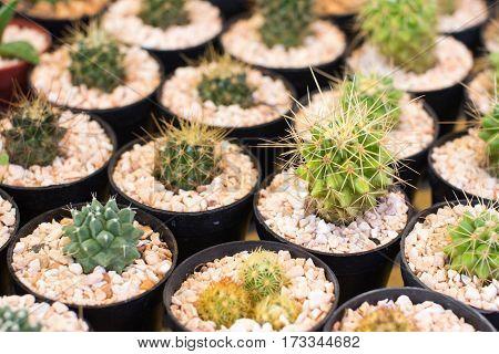 the cactus: beautiful echinocactus grusonii among other cactus