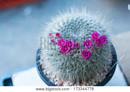 the cactus: beautiful flower of mammillaria among other cactus