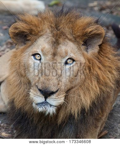 Closeup portrait of Rare Asiatic lion in the national Park Nayyar Dam, Kerala, India