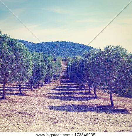 Olive Groves on the Hills in Spain Instagram Effect