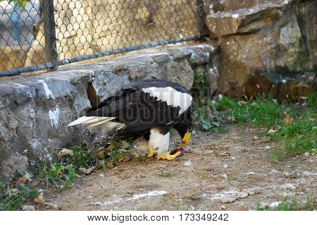 Eagle eating by the fence, bird of prey