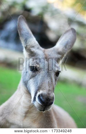 Portrait of a kangaroo, kangaroo close up