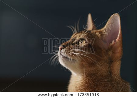 young abyssinian cat portrait in living room, shallow focus