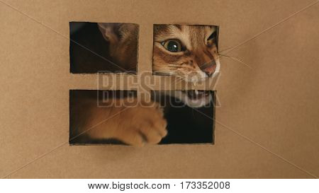 young abyssinian catplaying inside cardboard house from box, 8 month kitten