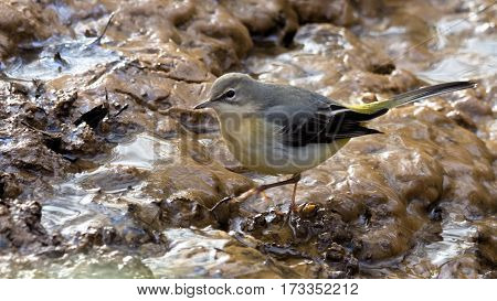 Grey wagtail on the edge of a watercourse