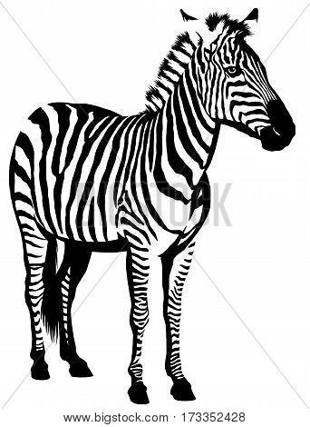 black and white linear draw zebra illustration