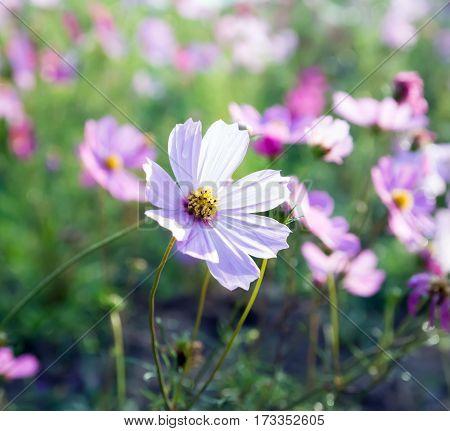 Cosmos flower in field, pink cosmos flowers blooming in the meadow