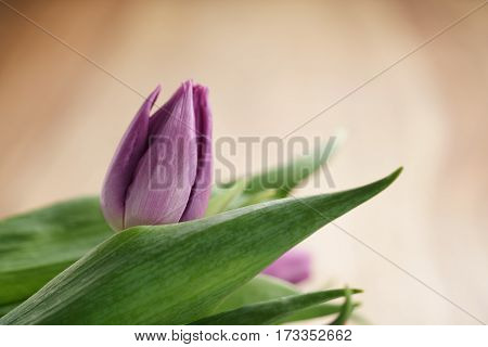 bouquet of purple tulips on wood table with copy space, shallow focus