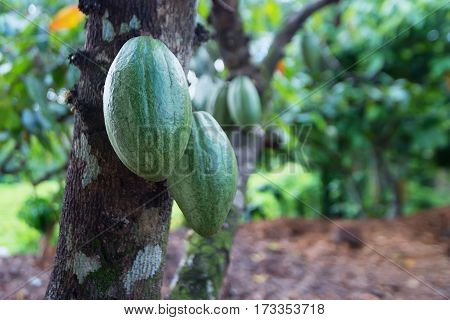 Cocoa fruit or Theobroma cacao on a tree