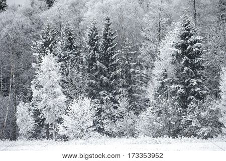 Winter landscape with Frost on the Trees at the Forest Edge