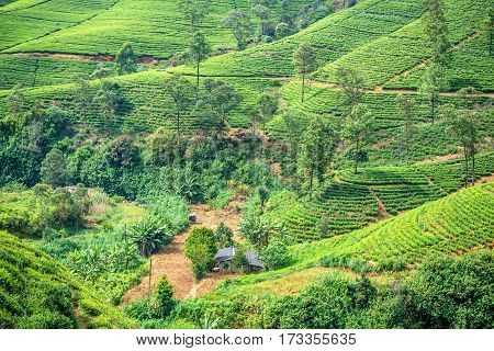 Beautiful view to tea plantation in mountain region of Sri Lanka