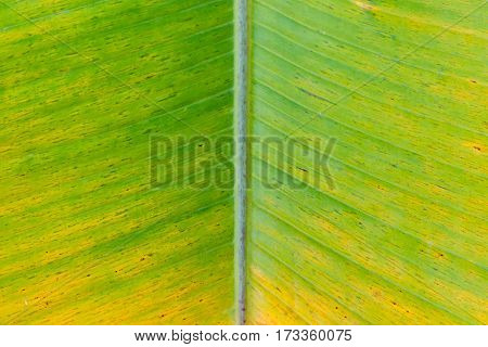 A banana leaf background with lines with natural