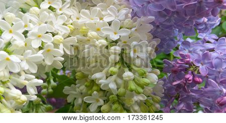 Flowers of white and purple lilac background image.