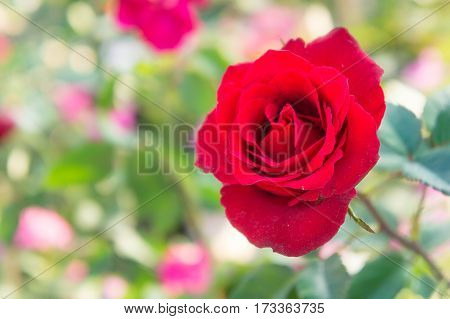 red rose in the park on blur background colorful style
