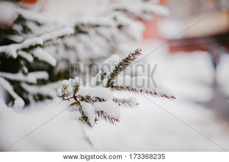 A branch of spruce in the snow.