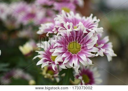 purple chrysanthemum blossom in the spring garden