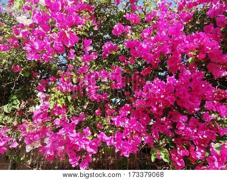 bougainvillea red flowers bushes mediterranean floral background