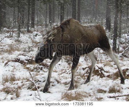 moose walking in a winter snowy forest