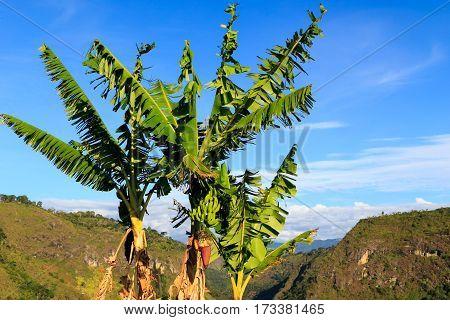 green banana palmes colombia jungles south america