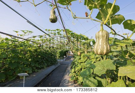 pumpkin squash butternut growing in field plant agriculture farm.