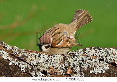 Sparrow bedraggled defensively on a branch with lichen