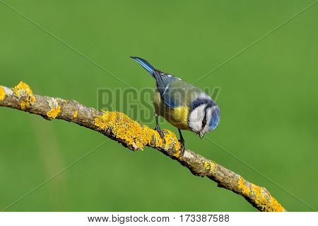 Tit on a branch with lichen and green background