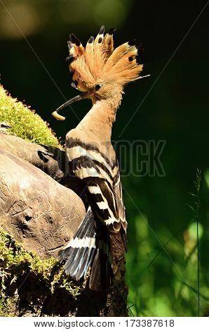 Hoopoe with nesting cavity with caterpillar feeding chicks