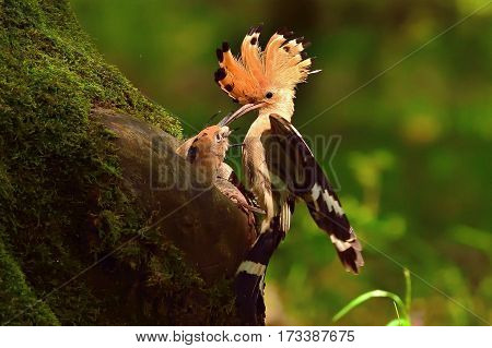 Hoopoe feeding two chicks in the nest cavity mossy