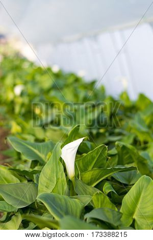 White Calla Flower In The Greenhouse Agriculture
